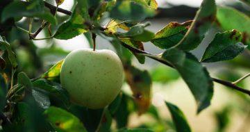 maçã verde na árvore